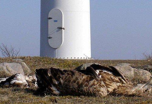 eagle, dead at wind turbine_1