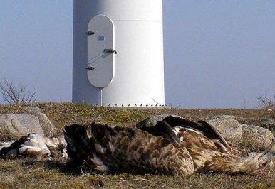 eagle-dead-at-wind-turbine_0